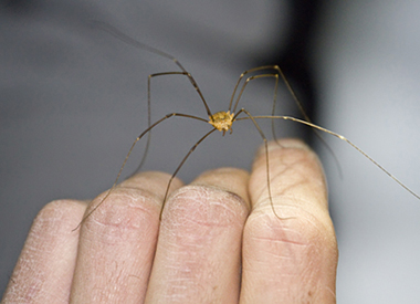 Daddy Longleg MG 1950