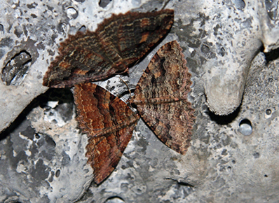 Moths Sheridan Mtn. Caves IMG 3798A