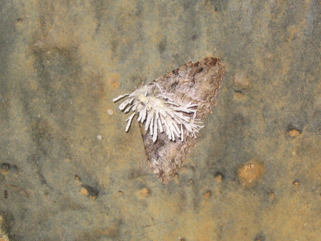 Fungus-infected Tissue Moth